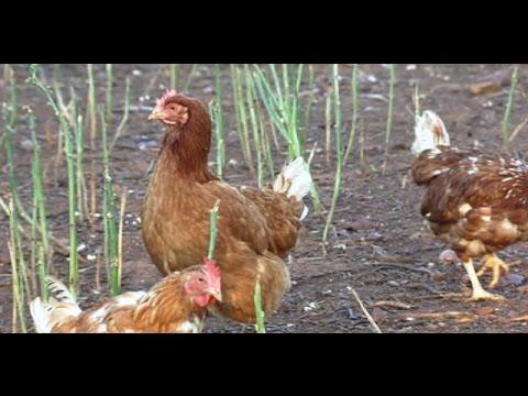 Granja de gallinas de huevos ecológicos en Linares